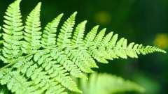 Як розмножується папороть. Як розмножуються папороті вятских лісів
