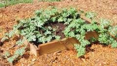 Як садити кавуни - поради для хорошого врожаю