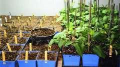Як садити жоржини в домашніх умовах