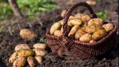 Як садити картоплю, щоб зібрати щедрий урожай