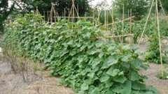Як садити огірки правильно?