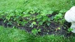Як навесні посадити полуницю? Вирощування полуниці на дачі