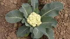 Як вирощувати кольорову капусту: секрети відмінного врожаю