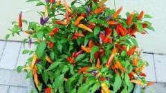 Як вирощувати декоративні перці