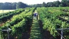 Як вирощувати виноград? Полив і догляд за рослинами