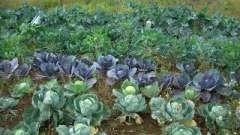 Як виростити капусту - кілька корисних порад