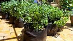 Як виростити картоплю в мішках, бочках? Картопляне поле на балконі