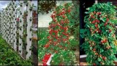 Як виростити полуницю в трубі?