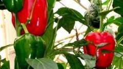 Як виростити перець у відкритому грунті вдало?