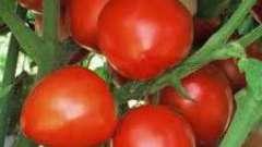 Як виростити помідори у відкритому грунті: посадка і догляд