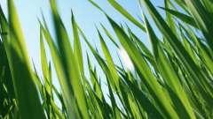 Яка найвища в світі трава?