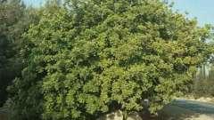 Якими властивостями володіє ріжкове дерево? Корисні властивості плодів рослини