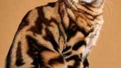 Який характер бенгальських кішок