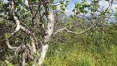 Карельська береза - дивовижна текстура деревини