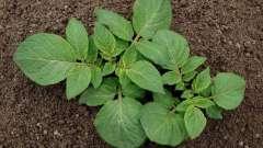 Картопля родріго: опис сорту, терміни дозрівання, умови вирощування