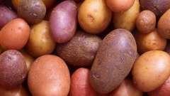 Картопля рокко: опис сорту, фото