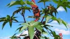 Рицина звичайна - краща прикраса садових клумб