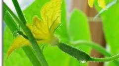 Коли і як поливати огірки