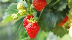 Коли пересадити полуницю, щоб отримати здорові рослини і ранній урожай