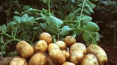 Коли садити картоплю в підмосков`ї - далеко не останнє питання, яке хвилює досвідчених городників