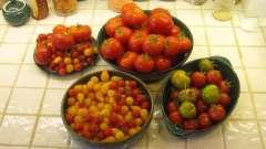 Коли висаджувати розсаду помідор в відкритий грунт
