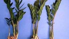 Кімнатна рослина заміокулькас - догляд в домашніх умовах
