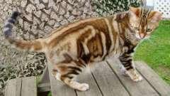 Короткошерсті кішки: породи і види