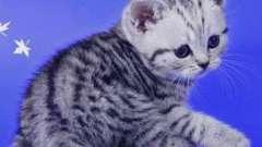 """Кішки з реклами """"віскас"""": порода британська короткошерста"""