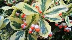 Красиве декоративна рослина бересклет японський
