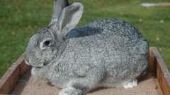 Кролики породи шиншила: опис