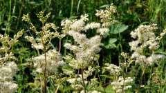 Лабазник. Лікувальні властивості рослини