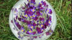 Лікувальні властивості квіток бузку: застосування в медицині і протипоказання.
