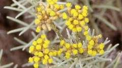 Трава безсмертник: лікувальні властивості і протипоказання