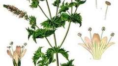 Лікарська рослина m ntha piper ta (м`ята перцева): користь і шкода трави