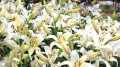 Лілія королівська, рослина-символ