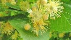 Липовий цвіт: корисні властивості і шкода