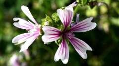 Мальва: посадка і догляд за квіткою