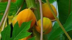 Масло папайї на сторожі жіночої краси