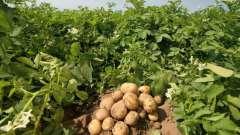 Матеріал посадковий сортової картоплі