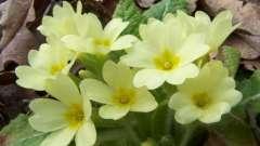Багаторічники жовтого кольору - як садити їх і вирощувати