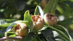Мушмула. Що це за дивовижний фрукт?