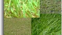 Назви і види трав. Види газонних трав