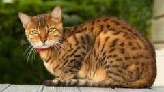 Незвичайні кішки світу: кішка бенгальської породи