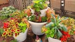 Невибаглива рослина - колеус. Вирощування з насіння