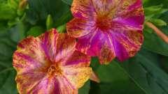 Нічна красуня - квітка, вирощування якого не важко