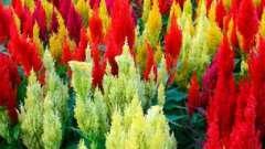 Однорічні квіти, квітучі все літо на ділянці