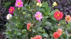 Однорічні жоржини - вирощування з насіння швидким способом