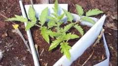 Городи-дачні клопоти: висадка розсади помідор в грунт