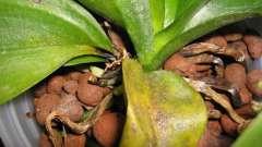 Основні хвороби орхідей.