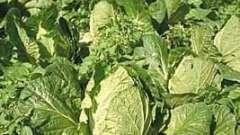 Пекінська капуста: як вирощувати, щоб отримати два врожаї за одне літо?